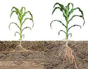 Talajlazítás kukorica gyökér
